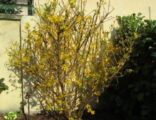 Buisson de Forsythia