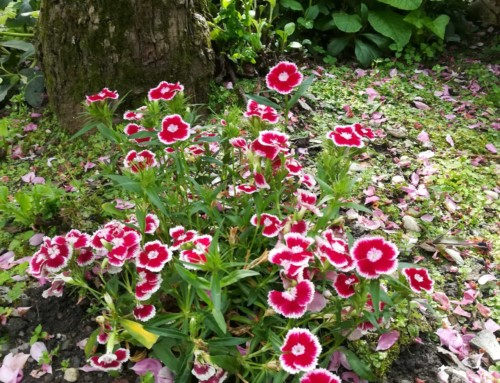 Oeillet du poète – Dianthus barbatus