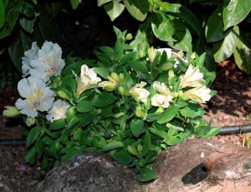 Alstroemeria blanche